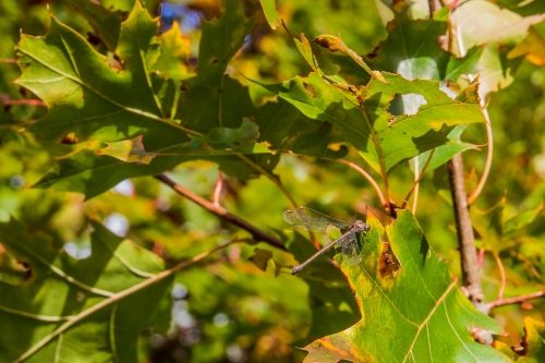 Libelle in de bossen van Sidderburen